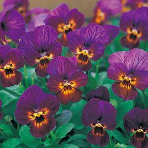 古风深紫色